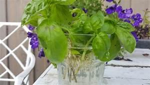 Magnolien Vermehren Durch Stecklinge : basilikum durch stecklinge vermehren ~ Lizthompson.info Haus und Dekorationen