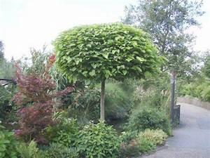 Kugel Trompetenbaum Schneiden : kugel trompetenbaum catalpa bignonioides nana direkt von ~ Lizthompson.info Haus und Dekorationen