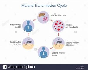 Illustration Showing Malaria Transmission Cycle Stock