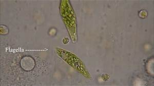 Euglena - The Flagellate