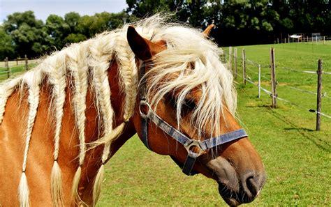 haflinger horse mane  photo  pixabay