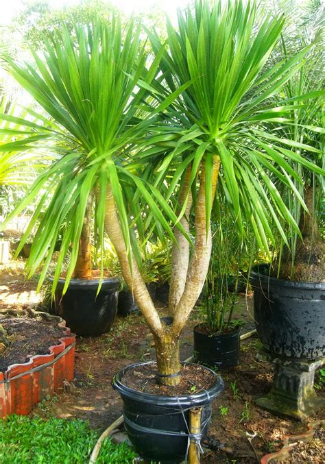jual pohon pandan bali murah tukang taman minimalis