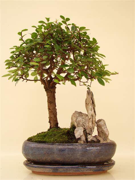 chinesische ulme bonsai ulst7 8 chinesische ulme genki bonsai