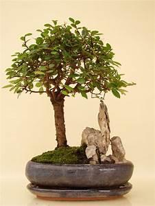 Bonsai Chinesische Ulme : ulst7 8 chinesische ulme genki bonsai ~ Sanjose-hotels-ca.com Haus und Dekorationen