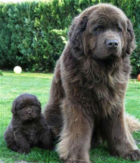 No Shed Dog Breeds Large by Owning A Newfoundland Dog Helpful Tips For Newfoundland