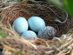 House finch egg pictures - House pictures