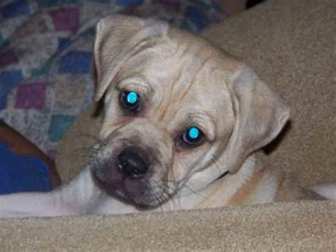 Pitbull Pug Mix Images