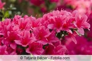 Rhododendron Braune Blätter : rhododendron hat gelbe braune bl tter was tun ~ Lizthompson.info Haus und Dekorationen
