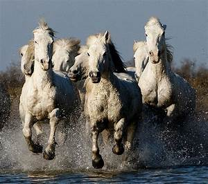Group of Camargue Horses Galloping through Water (2 ...
