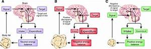 The lipostatic model of body fat regulation. This model ...