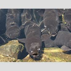 Eels Keeping Secrets To Themselves  Otago Daily Times Online News