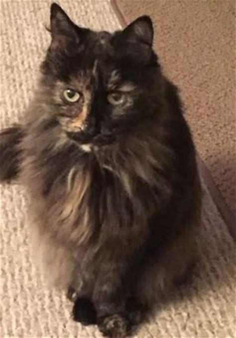long hair tortoiseshell cat  adoption  pittsburgh