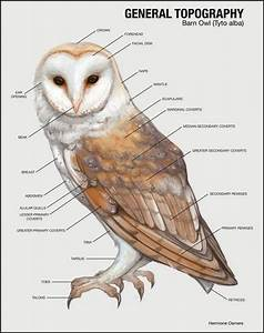Barn Owls Range A Ll Four Of The Southwestern Deserts  The
