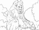 Gorilla Coloring Pages Mountain Silverback Printable Getcolorings Sheet Cute Awesome Colorings Animals sketch template