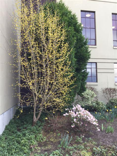 good trees  urban gardens cornelian cherry