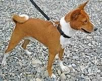 basenji the barkless dog