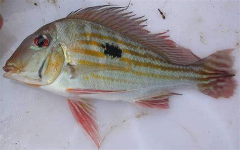 geophagus winemilleri  fish