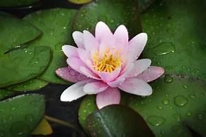 Free Images   Nature  Blossom  Leaf  Flower  Petal  Bloom  Wet  Summer  Spring  Tropical  Color
