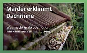 Marder Vom Auto Fernhalten : marder benutzt die dachrinne welcher marderschutz hilft ~ Frokenaadalensverden.com Haus und Dekorationen