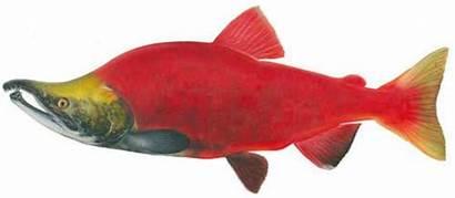 Salmon Sockeye Fish Native American Kokanee Drawing