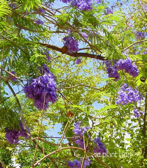 california tree with purple flowers a wonderful dilemma part 2 ramblings from a desert garden