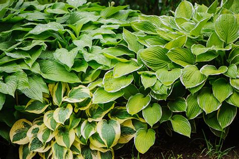 are hostas annuals or perennials 7 drought tolerant perennials for your home garden
