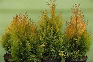 Lebensbaum Wird Braun : riesenlebensbaum 4ever goldy thuja plicata 4ever goldy ~ Lizthompson.info Haus und Dekorationen