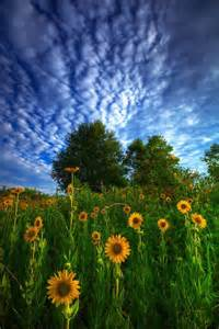 Sunflower Photos Beautiful Meadow