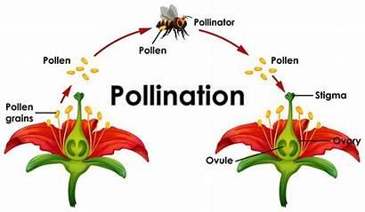 Pollination Diagram Flower Bee Pollinisation Impollinazione Showing