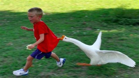 funny goose chasing kids compilation funny babies