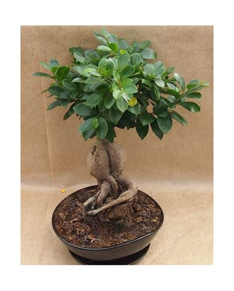 Bonsai Per Interni Bonsai Ficus Ginseng Da Interno Bonsai Ficus Montecchio