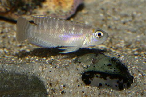 poisson lac tanganyika aquarium neolrologus brevis eau douce afrique lac tanganyika aquarium webzine l aquariophilie d