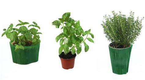 plante aromatique cuisine la culture des herbes aromatiques en pot