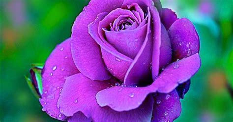 violet rose  water drops hd wallpaper artline feel