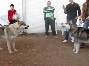 Czechoslovakian Wolfdog vs. Malamute - YouTube