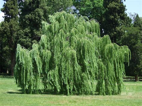 weeping willow tree willow trees quotes like success