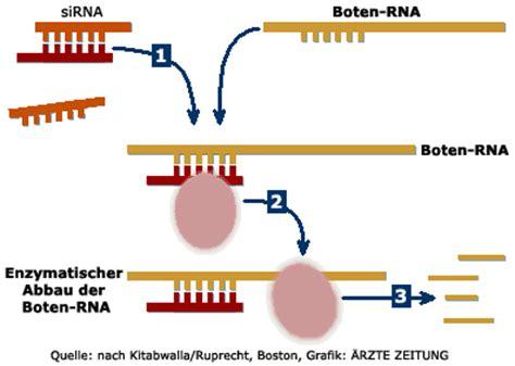 Boten Rna by Rna Molek 252 Le F 252 R Therapie Immer Interessanter