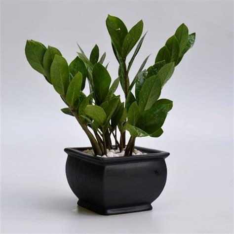 zz plant  black mogul pot  passion green