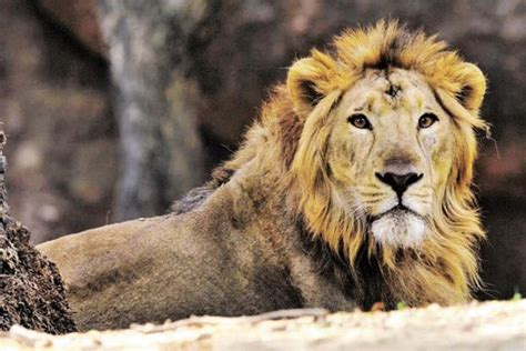Asiatic Lion And Gir Forest