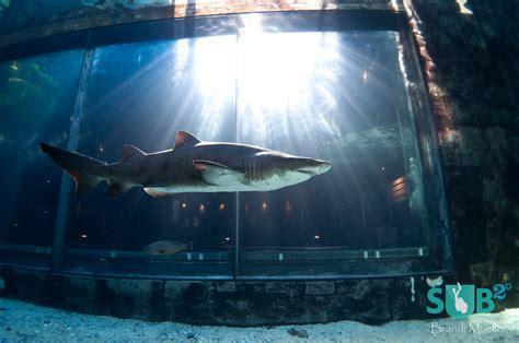 diving with sharks in aquarium scuba diving magazine