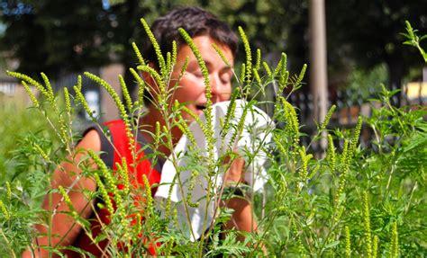 achtung allergiker allergiepflanze ambrosia breitet sich