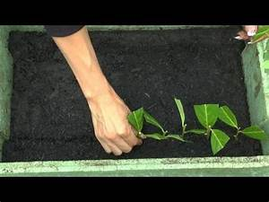 Kirschlorbeer Selber Ziehen : stecklinge vom kirschlorbeer ganz garten vermehren cutting planting growing harvesting ~ Orissabook.com Haus und Dekorationen