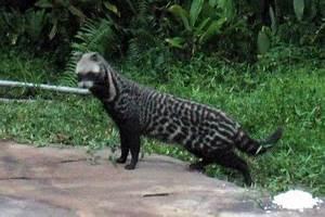 Civet - Wikipedia