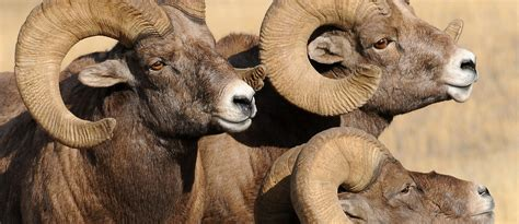 special access agreements  bighorn sheep hunters