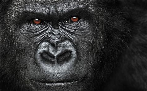 gorilla quotes quotesgram animal makeup gorilla