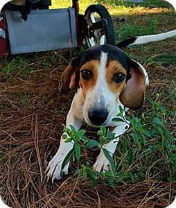 Walker Hound Beagle Mix Pictures to Pin on Pinterest ...