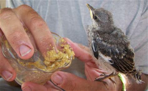 the rasch outdoor chronicles feeding a baby mockingbird