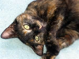 tortoiseshell cat cats for adoption torties amelia and emily are still