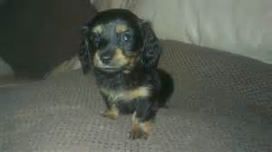 Mini Chihuahua Dachshund Mix Chiweenie Puppy