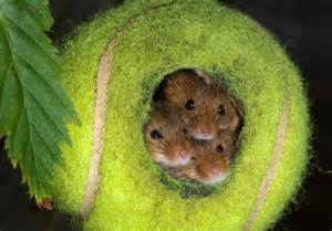 Harvest Mouse Tennis Ball